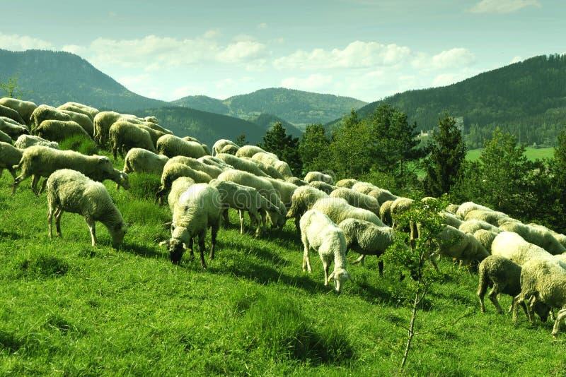 Moltitudine di pecore bianche che pascono in un prato un giorno soleggiato immagini stock libere da diritti