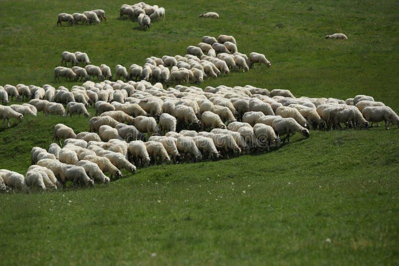 Moltitudine di pecore che pascono fotografia stock
