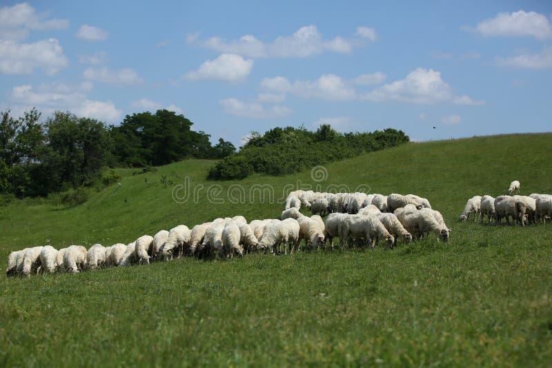 Moltitudine di pecore che pascono immagini stock libere da diritti