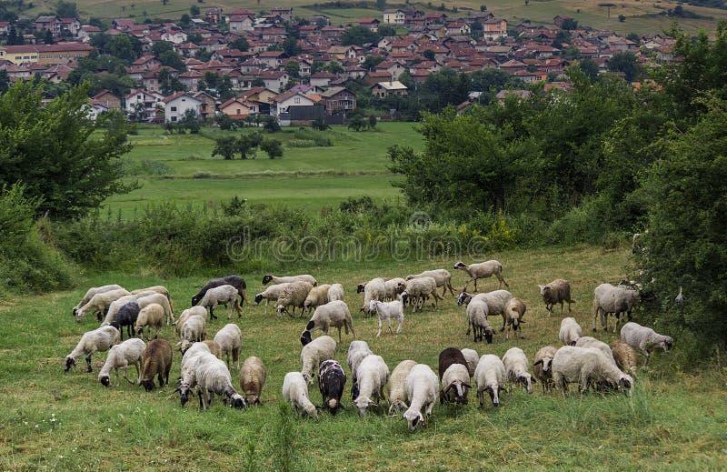 Moltitudine di pecore che pascono erba fotografia stock