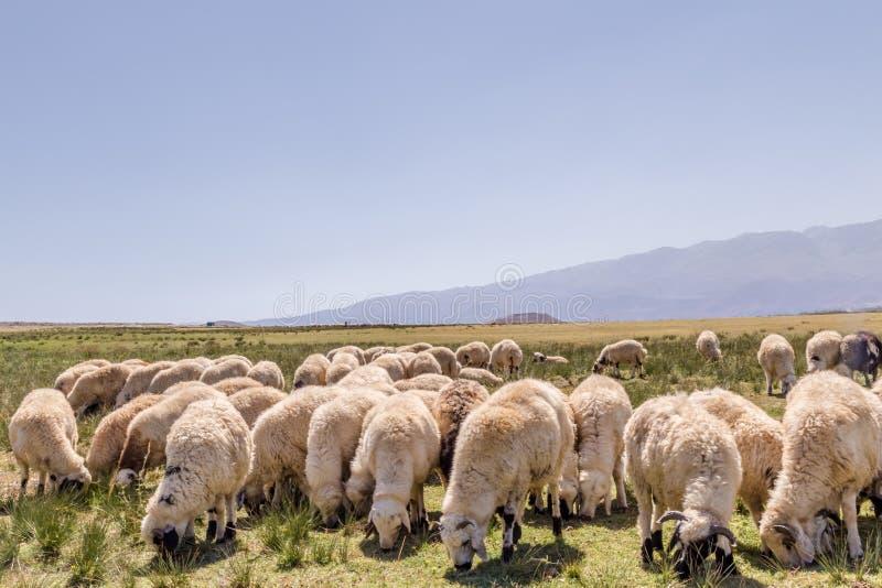 Moltitudine di pecore che pascono nel prato con le montagne immagini stock libere da diritti