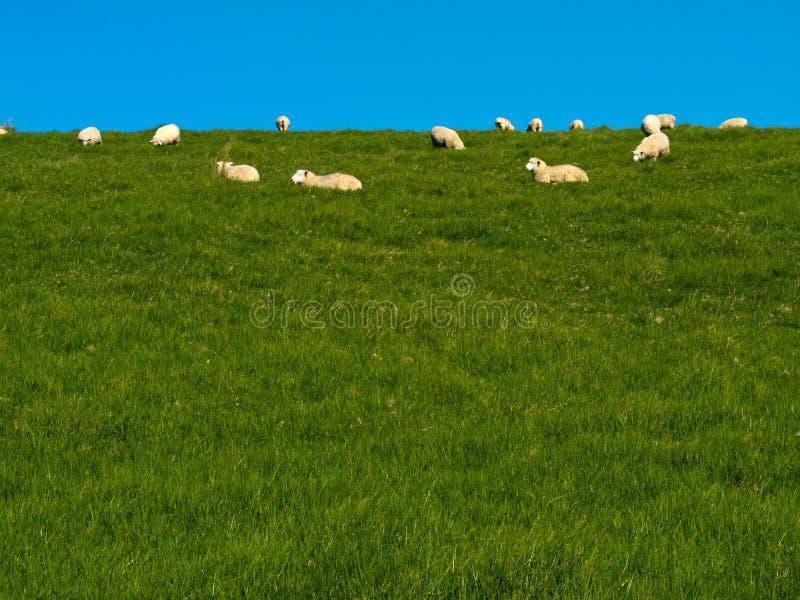 Moltitudine di pecore che pascono pigro sulla collina erbosa verde fotografia stock