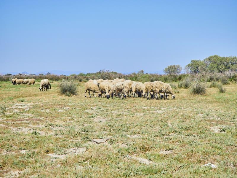 Moltitudine di pecore che pascono su un pascolo ad un paesaggio mediterraneo fotografie stock