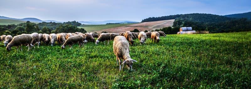 Moltitudine di pecore che pascono in un pascolo immagine stock