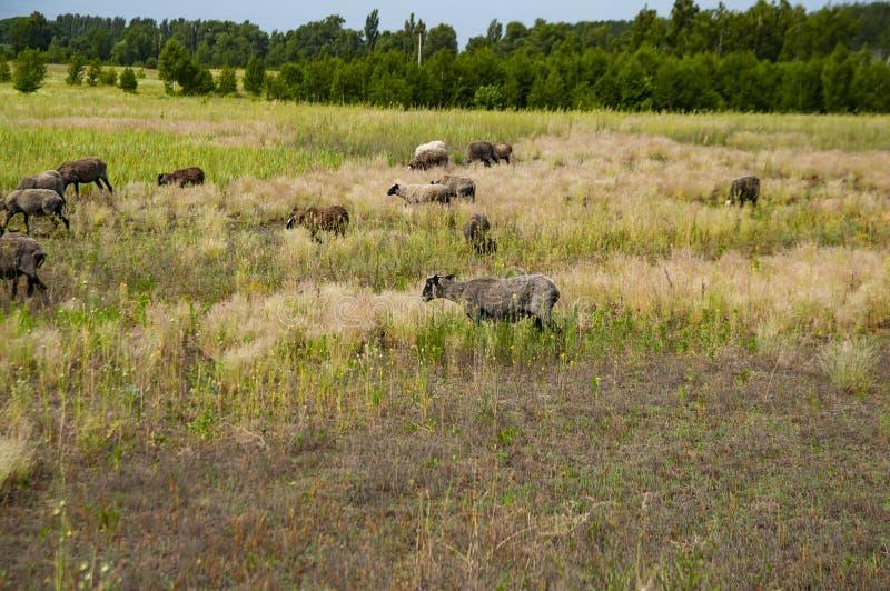 Moltitudine di pecore che pascono in un pascolo fotografia stock