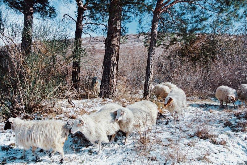 Moltitudine di pecore che passano l'abetaia nelle montagne immagine stock libera da diritti