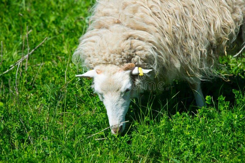 Moltitudine di pecore dello skudde fotografie stock