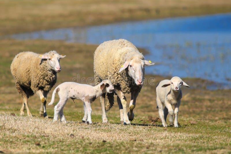 Moltitudine di pecore e di agnelli sul pascolo immagine stock libera da diritti