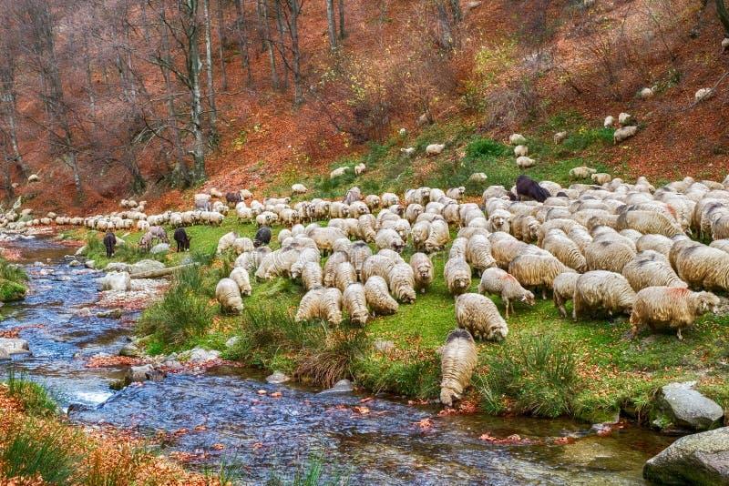 Moltitudine di pecore e di asini sulla banca del fiume vicino alla foresta del faggio di autunno fotografie stock libere da diritti