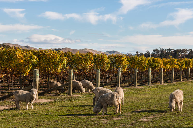 Moltitudine di pecore merino che pascono nella vigna immagini stock
