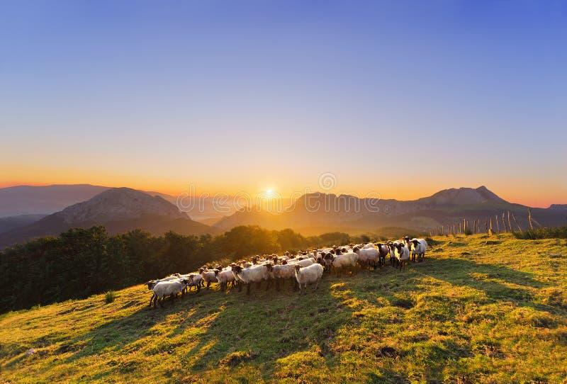 Moltitudine di pecore in montagna di Saibi fotografie stock libere da diritti