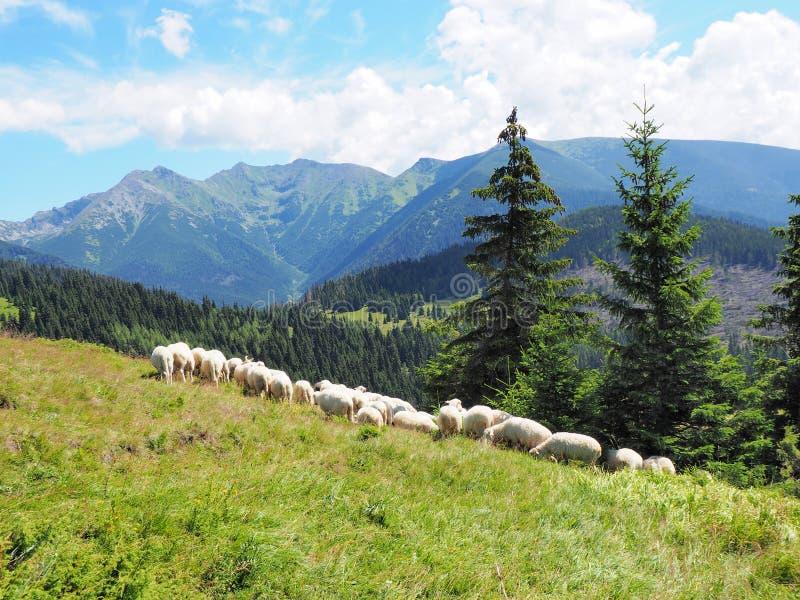 Moltitudine di pecore in montagne: Tatry immagine stock
