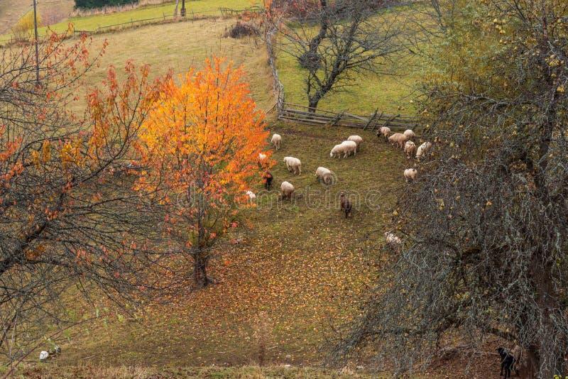 Moltitudine di pecore in natura di autunno in Bulgaria fotografie stock libere da diritti