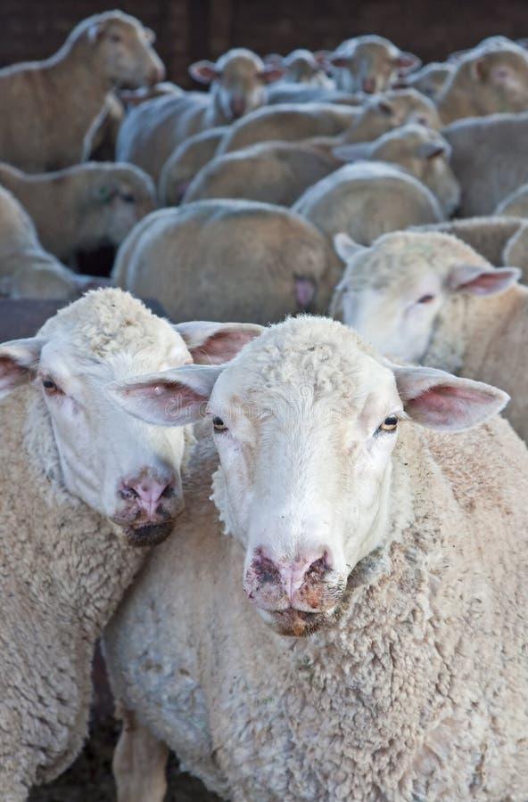 Moltitudine di pecore nella loro penna fotografia stock libera da diritti
