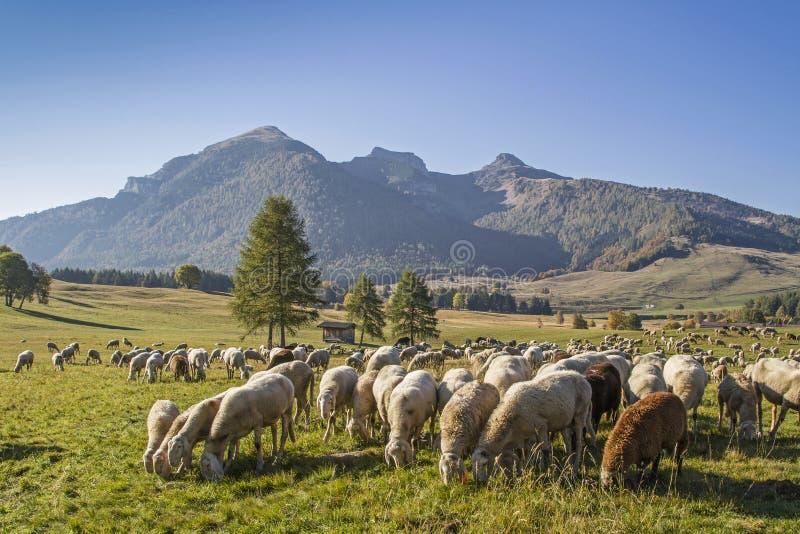 Moltitudine di pecore nelle montagne di Monte Bondone immagine stock