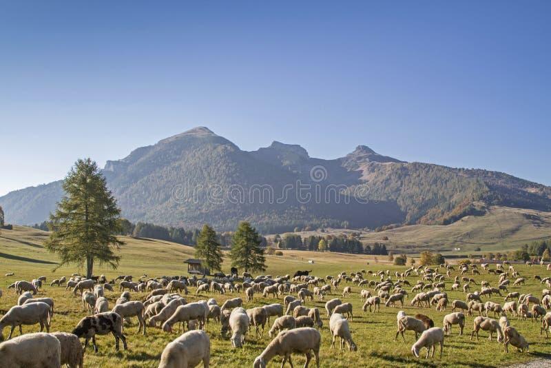 Moltitudine di pecore nelle montagne di Monte Bondone fotografie stock libere da diritti