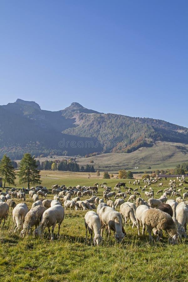 Moltitudine di pecore nelle montagne di Monte Bondone fotografia stock libera da diritti