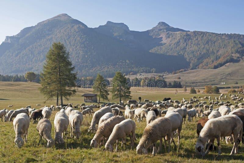 Moltitudine di pecore nelle montagne di Monte Bondone fotografie stock