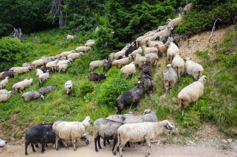 Moltitudine di pecore in pascolo immagine stock
