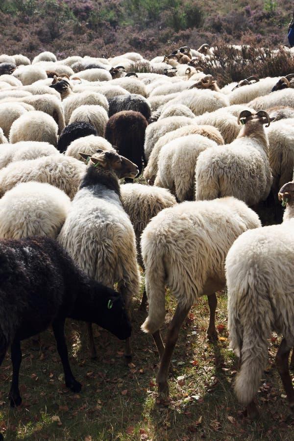 Moltitudine di pecore sopra la brughiera vicino a Havelte, Olanda immagine stock libera da diritti