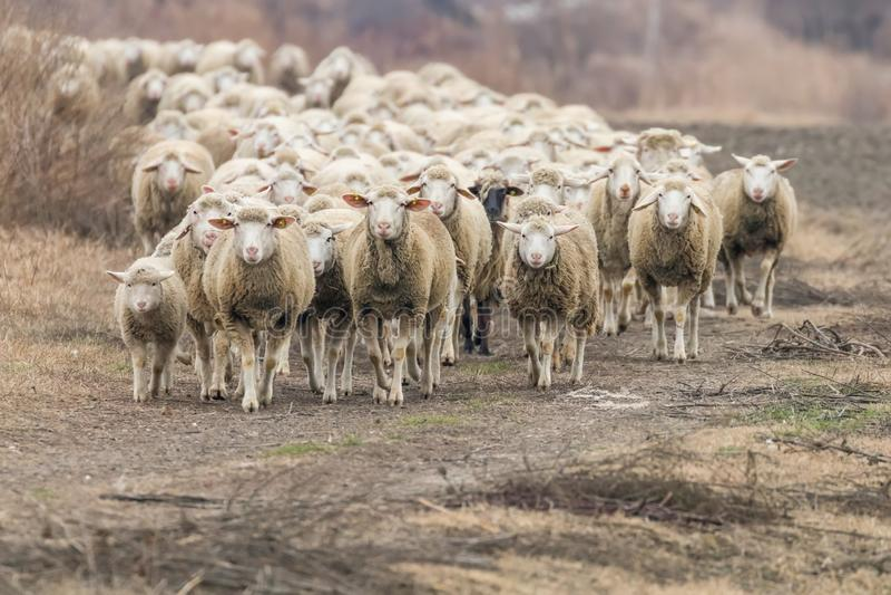 Moltitudine di pecore, pecore sul campo fotografie stock