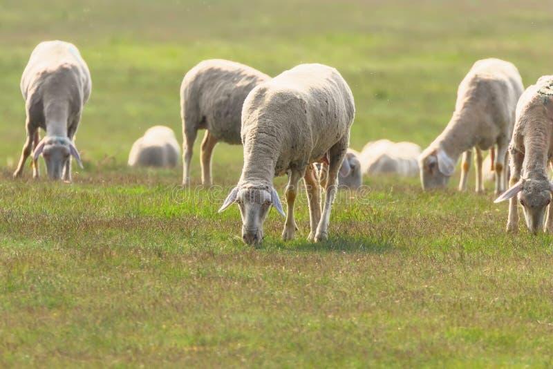 Moltitudine di pecore, pecore sul campo fotografia stock