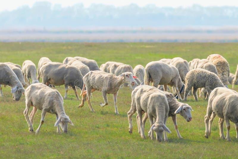 Moltitudine di pecore, pecore sul campo fotografie stock libere da diritti