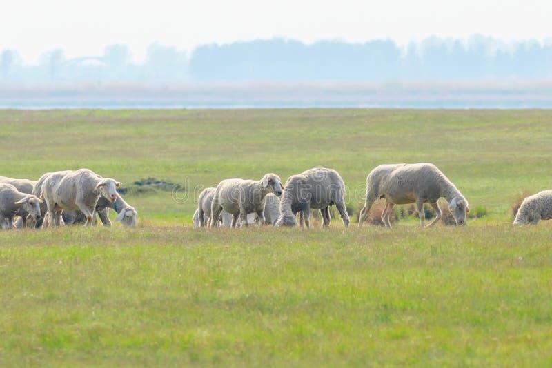 Moltitudine di pecore, pecore sul campo immagini stock libere da diritti