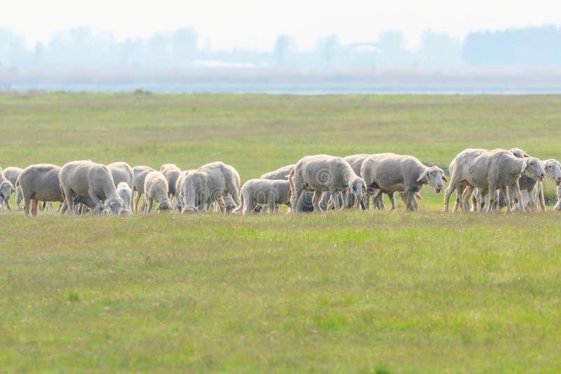 Moltitudine di pecore, pecore sul campo immagine stock