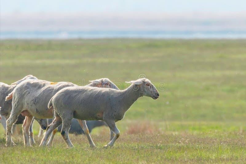 Moltitudine di pecore, pecore sul campo immagini stock