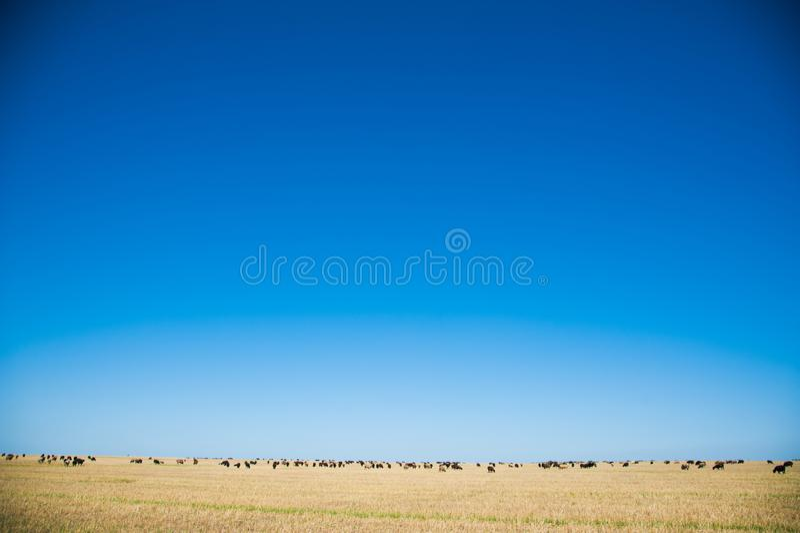 Moltitudine di pecore sul prato immagini stock