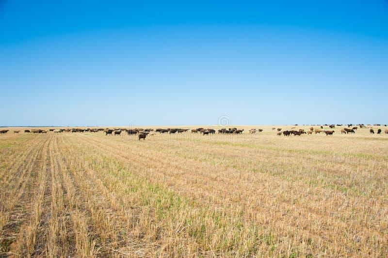 Moltitudine di pecore sul prato fotografia stock