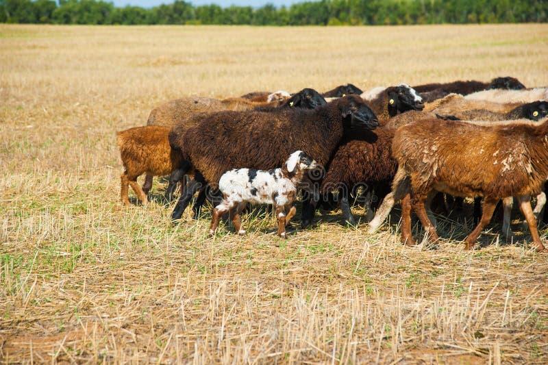 Moltitudine di pecore sul prato immagine stock
