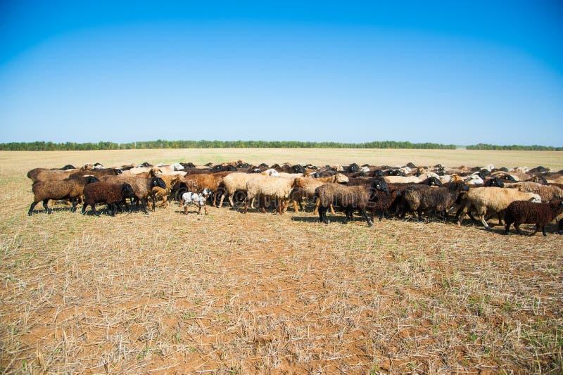 Moltitudine di pecore sul prato fotografie stock libere da diritti