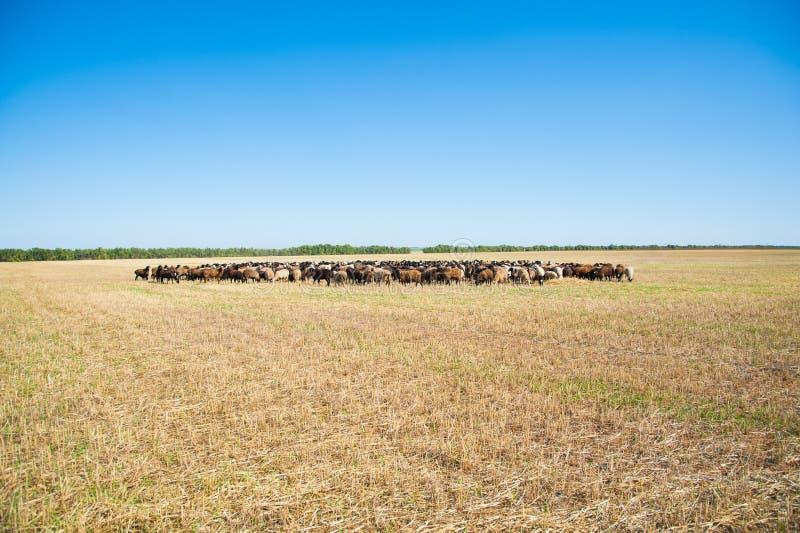 Moltitudine di pecore sul prato fotografie stock