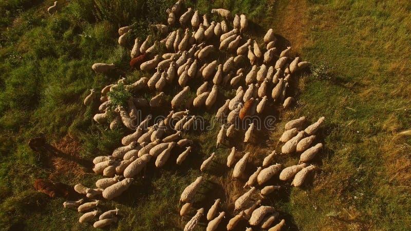 Moltitudine di pecore sul prato immagine stock libera da diritti