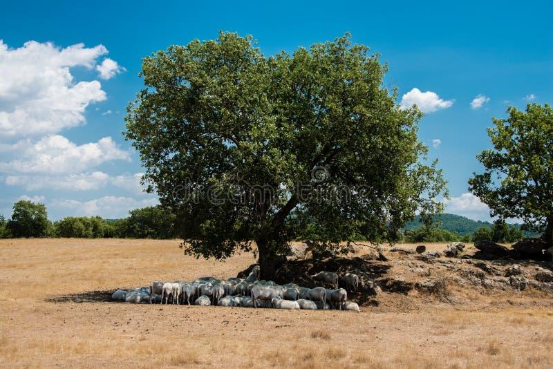 Moltitudine di pecore in Toscana fotografie stock