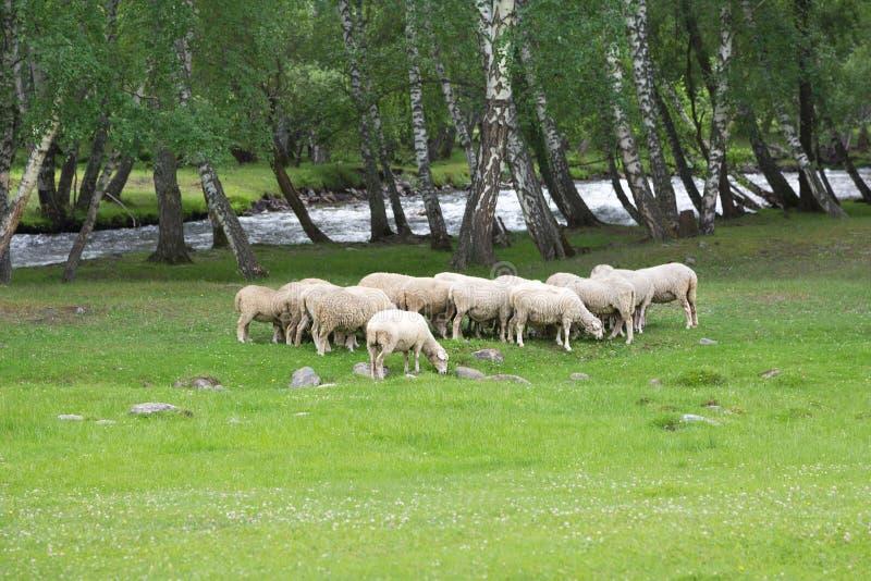 Moltitudine di pecore in un prato immagini stock libere da diritti
