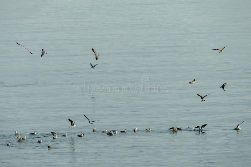 Moltitudine di pellicani in volo fotografie stock libere da diritti