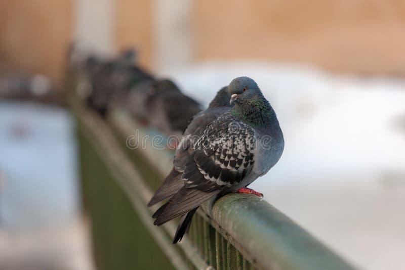 Moltitudine di piccioni fotografia stock libera da diritti