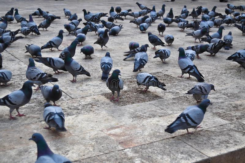 Moltitudine di piccioni immagini stock libere da diritti
