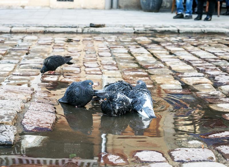 Moltitudine di piccioni che lavano nella pozza su pavimentazione fotografie stock libere da diritti