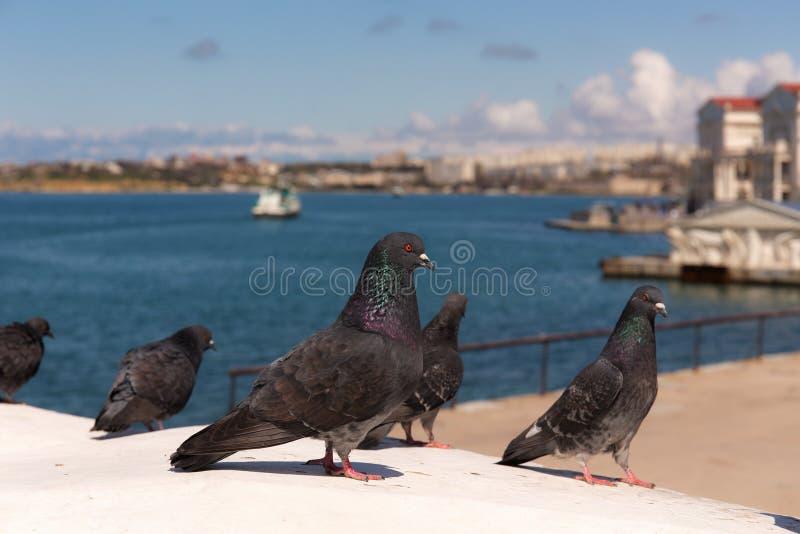 Moltitudine di piccioni in città immagine stock libera da diritti