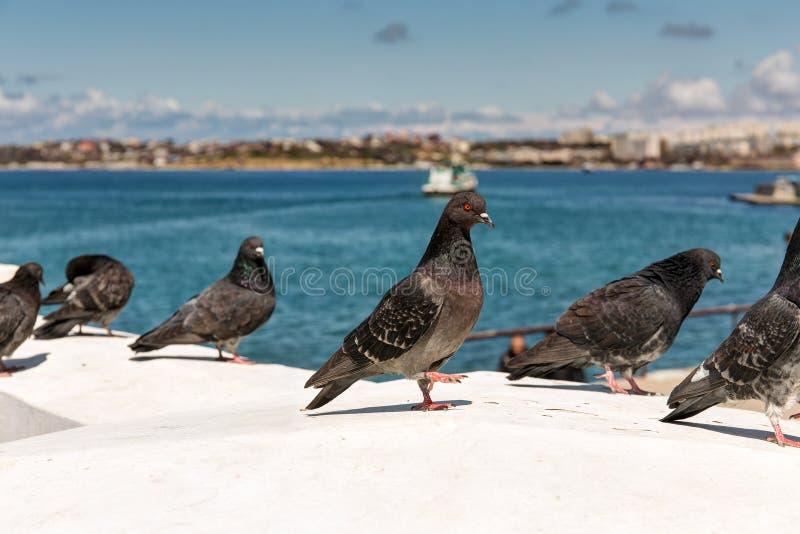 Moltitudine di piccioni a Sebastopoli immagine stock