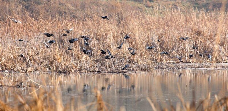 Moltitudine di piccioni sul lago fotografie stock libere da diritti