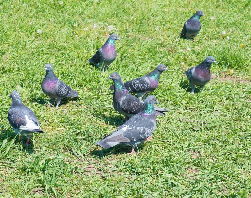 Moltitudine di piccioni sull'erba verde fotografia stock libera da diritti