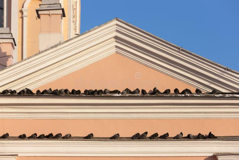 Moltitudine di piccioni sulla gronda immagine stock libera da diritti