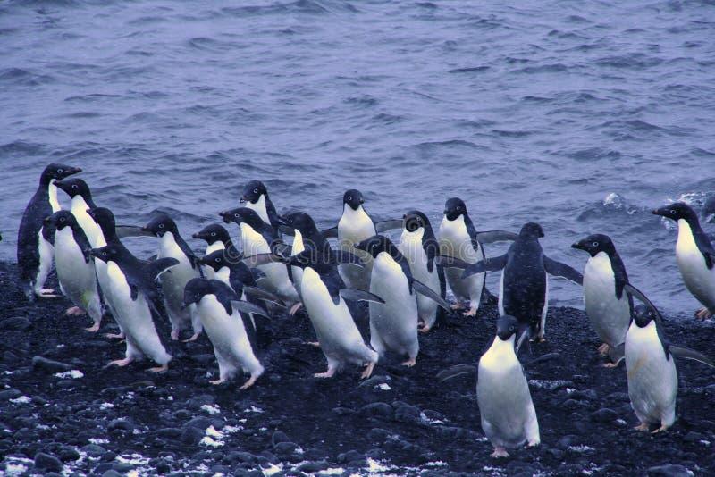Moltitudine di pinguini del Adelie fotografia stock