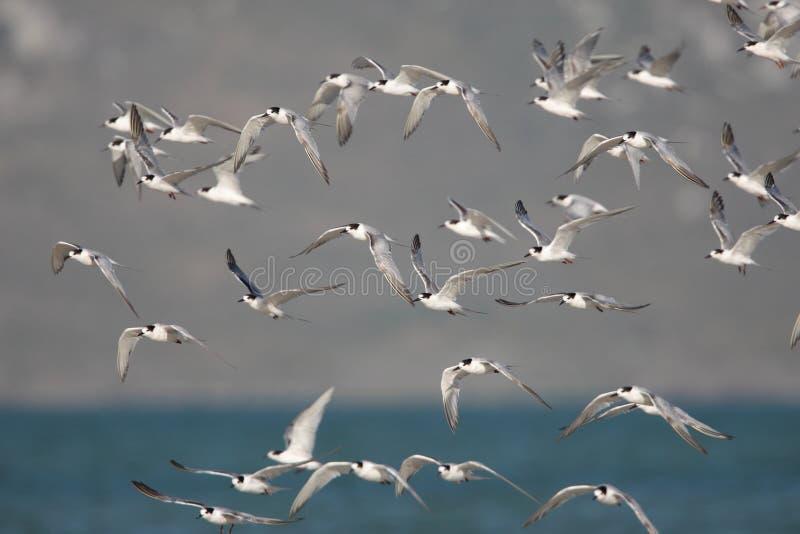 Moltitudine di sterne comuni durante il volo immagine stock