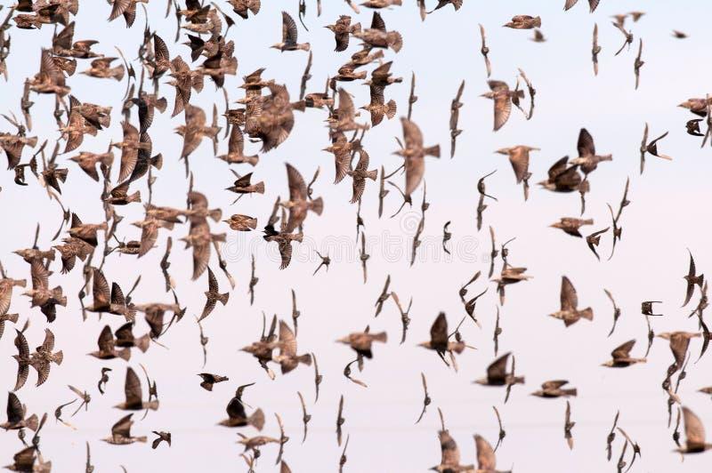 Moltitudine di Sturnus dello storno vulgaris fotografia stock